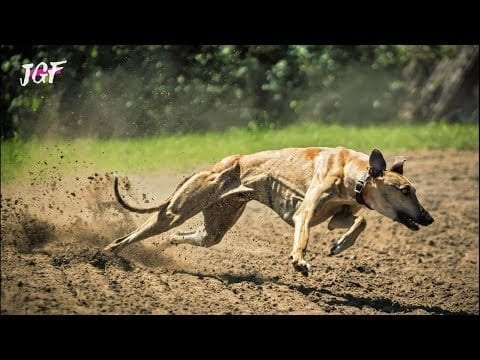 Training Dogs for Greyhound Racing petworldglobal.com