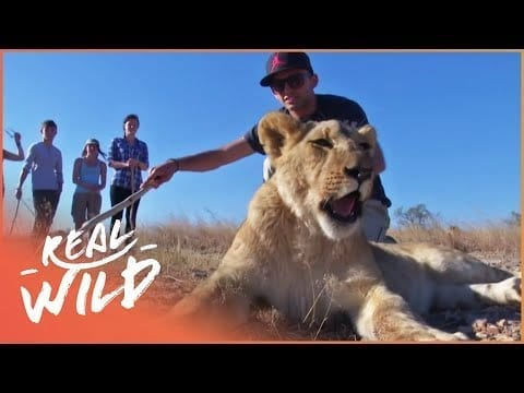 Volunteers Learn The Rules Of Walking With Lions | Lodging With Lions S1 EP1 | Real Wild petworldglobal.com