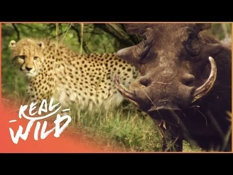 Warthog Defends Its Young From Dangerous Cheetah | A Year In The Wild S1 EP2 | Real Wild petworldglobal.com