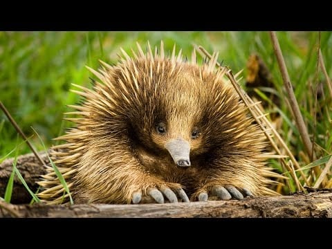 What In The World Is An Echidna?   Survival of the Weirdest   Love Nature petworldglobal.com