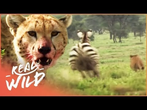Zebra Hunts Cheetah Leaving Young Cubs Alone | A Year In The Wild S1 EP1 | Real Wild petworldglobal.com