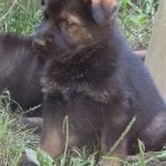Czech DDR German Shepherd Female Puppy Available! petworldglobal.com