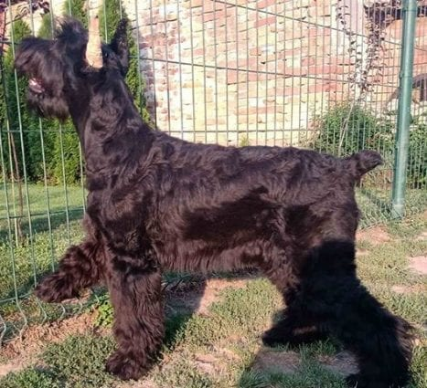 Giant Schnauzer Puppies for Sale petworldglobal.com