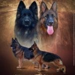 Haus Godwin German Shepherds Presents World Class Puppies petworldglobal.com