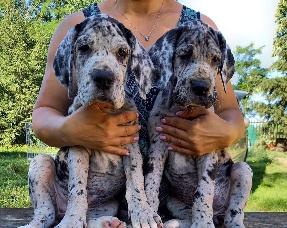 Merle Great Dane Puppies for Sale in Germany petworldglobal.com