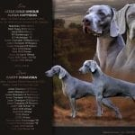 Weimaraner Puppies for Sale petworldglobal.com