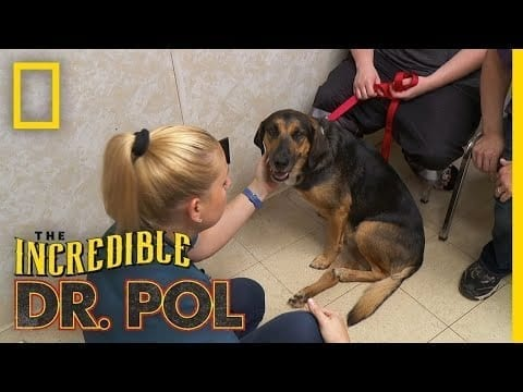 A Dog's Car Accident Recovery | The Incredible Dr. Pol petworldglobal.com
