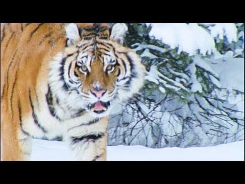 A Snow Tiger Complaining About Snow   Walk On The Wild Side   Funny Talking Animals   BBC Earth petworldglobal.com