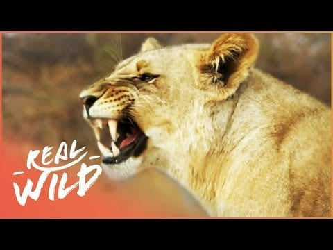 African Lions Attack Trapped Impala Herd | Lodging With Lions S1 EP5 | Real Wild petworldglobal.com