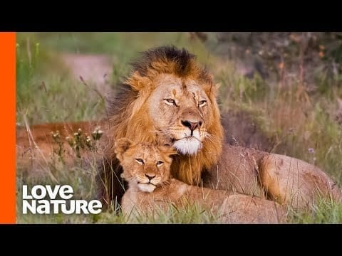 Baby Lions Meet Dad For The First Time | Love Nature petworldglobal.com