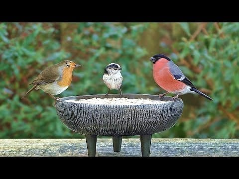 Birds Chirping and Tweeting in My Garden - Hear The Bullfinch and Long Tailed Tit Call petworldglobal.com