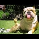 Bulldogs Help Owner Rescue Animals | Oddest Animal Friendship | Love Nature petworldglobal.com