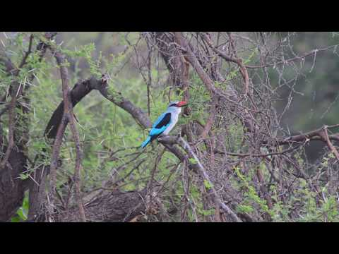 Call of the Woodland kingfisher petworldglobal.com