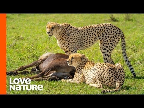 Cheetah Brothers Team Up To Hunt Antelope | Africa's Hunters | Love Nature petworldglobal.com