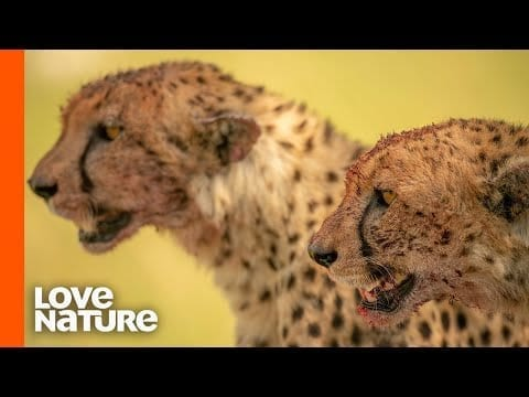Cheetahs Team Up To Hunt For Food | Africa's Hunters | Love Nature petworldglobal.com