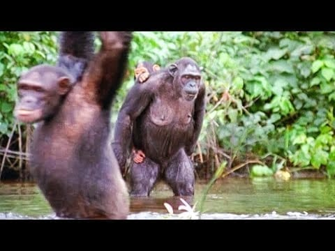 Chimpanzees Go Shopping | Walk On The Wild Side | Funny Talking Animals | BBC Earth petworldglobal.com