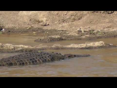 Crocodile in the Mara River, Kenya petworldglobal.com