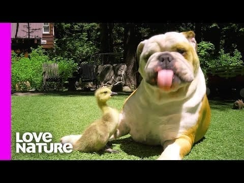 Dogs with Their Strange Animal Friends! | Oddest Animal Friendship | Love Nature petworldglobal.com