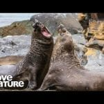 Elephant Seal vs. Elephant Seal | Survival of the Weirdest | Love Nature petworldglobal.com