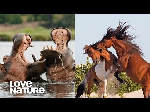 Epic Battles for Dominance | Hippos, Wild Horses | Love Nature petworldglobal.com