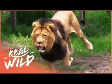 Feeding A Fully Grown Lion (Wildlife Documentary) | Lodging With Lions S1 EP7 | Real Wild petworldglobal.com