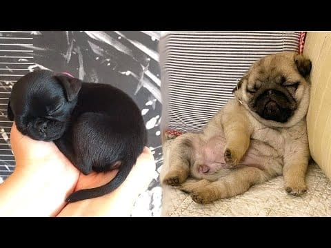 Funniest and Cutest Pug Dog Videos Compilation 2020 - Cutest Puppy #7 petworldglobal.com