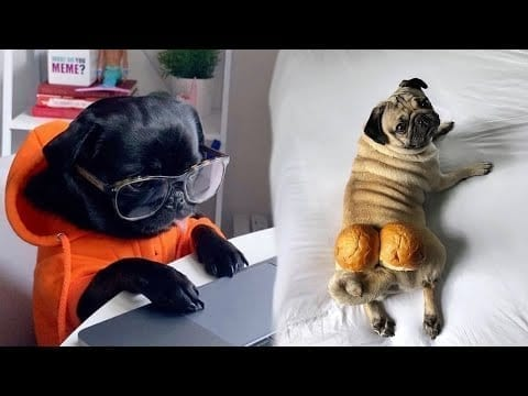 Funniest and Cutest Pug Dog Videos Compilation 2020 - Cutest Puppy #8 petworldglobal.com