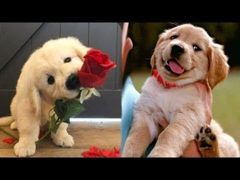 Funny and Cute golden retriever Puppies Compilation #1- Cutest Golden Puppy petworldglobal.com
