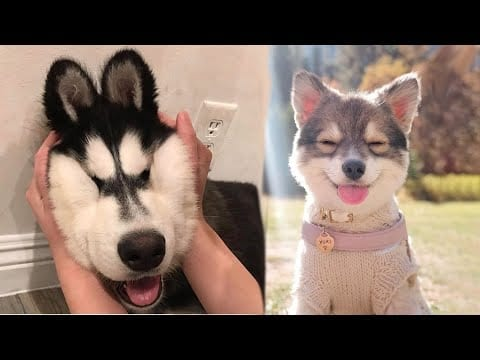 Funny and Cute Husky Puppies Compilation 2020 - Cutest Husky #05 petworldglobal.com