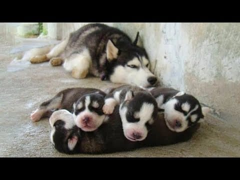 Funny and Cute Husky Puppies Compilation 2020 - Cutest Husky #06 petworldglobal.com
