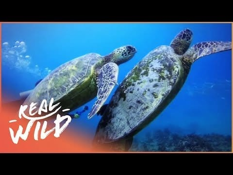 How Turtles Survive In The Wild (Wildlife Documentary)   Wild About S1 EP13   Real Wild petworldglobal.com