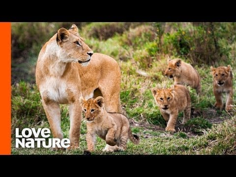 Lion Mother Takes Lion Cubs Outside For The First Time | Love Nature petworldglobal.com