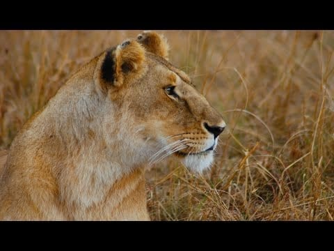 Lions of Africa - Lords of the savanna petworldglobal.com