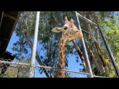 Live from Sac Zoo with Skye the giraffe petworldglobal.com