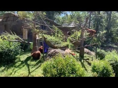 Live from Sac Zoo with the orangutans petworldglobal.com