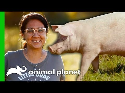 Moving Pigs A Pig Palace! | Saved By The Barn petworldglobal.com
