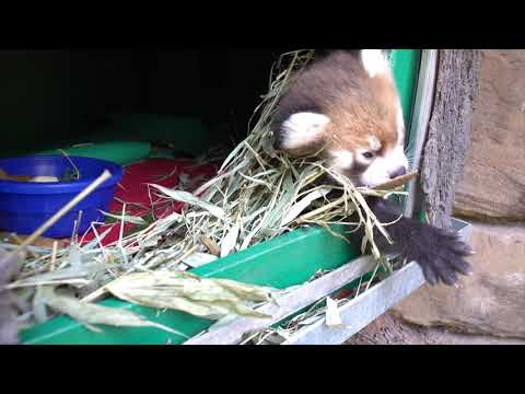 Red Panda Cub Turns 6 Weeks Old petworldglobal.com