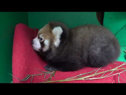 Red Panda Cub Wakes Up, Snuggles With Mom petworldglobal.com