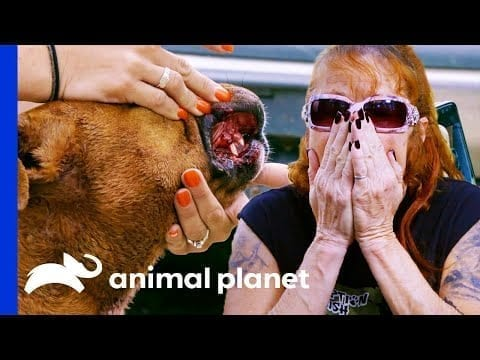 Rescued Fighting Dogs Need Urgent Medical Treatment | Pit Bulls & Parolees petworldglobal.com