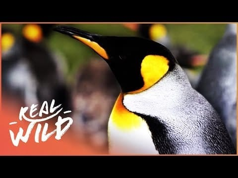 The Sub-Zero World Of Penguins (Wildlife Documentary)   Wild About S1 EP11   Real Wild petworldglobal.com