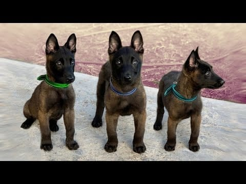 These Are 10 Best Miniature Dog Breeds petworldglobal.com