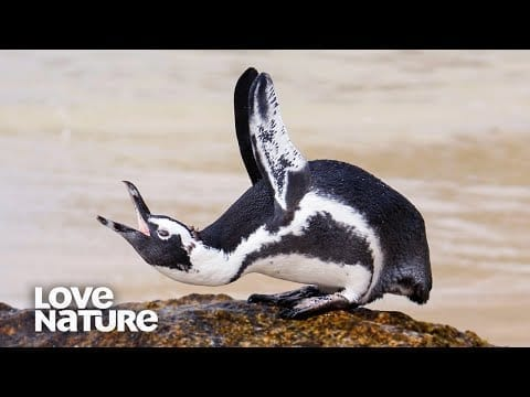 Why Are These Penguins Called 'Jackass Penguins'? | Survival of the Weirdest | Love Nature petworldglobal.com