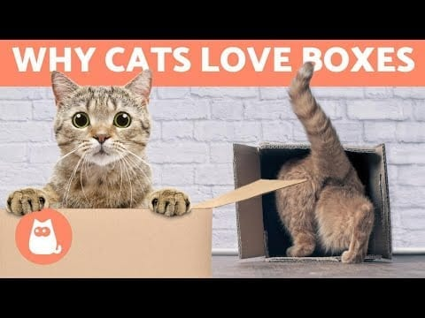 Why Do CATS Like BOXES so Much? ?? (6 Reasons) petworldglobal.com