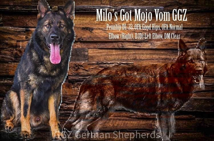 AKC Working Line GSD Male petworldglobal.com