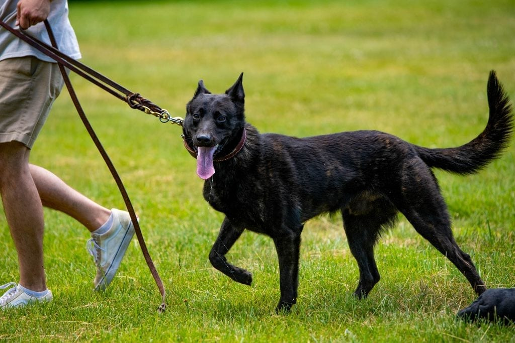 Dutch Shepherd for Sale KNPV Import for Police or Protection petworldglobal.com