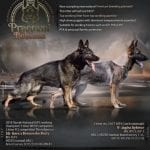 European Working Line German Shepherd Breeders petworldglobal.com