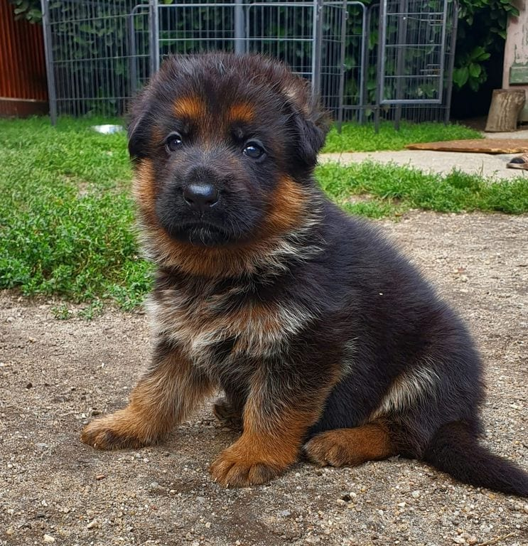 German Shepherd Puppies in Germany for Sale Zac dei Precision Puppies for Sale