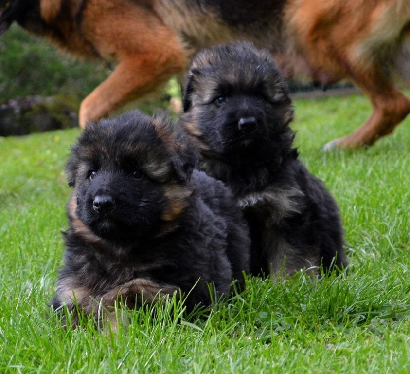 Long Coat German Shepherd Puppies for Sale in Germany petworldglobal.com