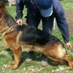 TOP German Shepherd Male for Sale in Albania petworldglobal.com