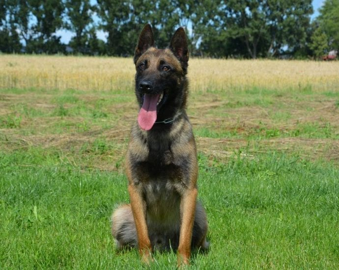 Trained Belgian Malinois for Sale in Slovakia petworldglobal.com
